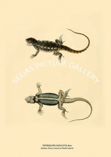 Fine art print of the TROPIDOLEPIS UNDULATUS, Bosc Eastern Fence Lizard or Prairie Lizard by John Edwards Holbrook (1842)